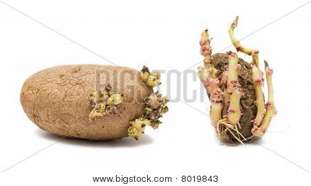 Germinating Potatoes