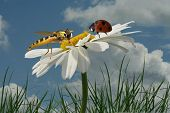 stock photo of encounter  - Encounter a hoverfly and a ladybug on a Magarithe - JPG