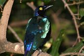 Blue-eared glossy Starling looking up poster