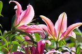 picture of easter lily  - Lilium longiflorum  - JPG