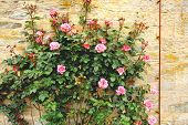 image of climbing roses  - Climbing roses in the garden on the old wall - JPG