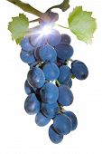 Vine Blue Grapes