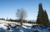 pic of conifers  - Winter scene with green conifer and defoliate deciduous tree of snow surface - JPG
