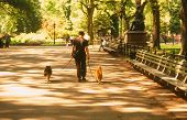 picture of dog-walker  - dog walker in central park