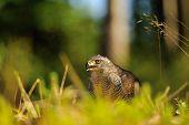foto of goshawk  - Northern goshawk head in a grass on the forest ground - JPG