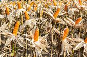 stock photo of corn stalk  - Shelled corn in a Corn Field Northern thailand - JPG