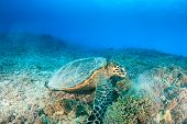 picture of hawksbill turtle  - Hawksbill Turtle feeding on a tropical coral reef - JPG