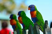 picture of lorikeets  - Three native Australian Rainbow Lorikeet sit on a wooden fence.