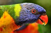 stock photo of lorikeets  - Native Australian Rainbow Lorikeet close up portrait.