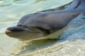 image of dolphins  - Close up of a Dolphin face in the water - JPG