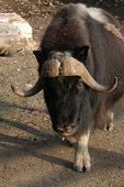 stock photo of oxen  - Musk ox  - JPG