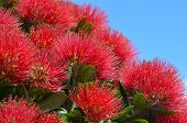 stock photo of christmas flower  - Pohutukawa red flowers blossom in the month of December in Auckland New Zealand - JPG