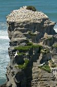 stock photo of gannet  - Motutara Island at Muriwai gannet colony in Muriwai Regional Park New Zealand - JPG
