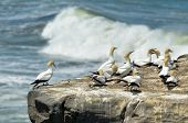 stock photo of gannet  - Gannets in Muriwai gannet colony in Muriwai Regional Park New Zealand - JPG
