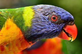image of lorikeets  - Native Australian Rainbow Lorikeet close up portrait. ** Note: Soft Focus at 100%, best at smaller sizes - JPG