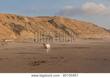 Jack Russell Terrier Running With A Stone In His Mouth