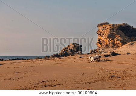 Jack Russell Terrier Adult Dog Trying To Catch A Rock