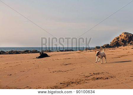 Parson Russell Terrier Female Dog Running With Speed On The Fine Sand Of The Beach In The Galapagos