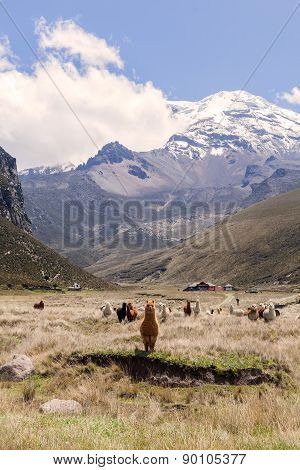 Herd Of Llamas, Chimborazo National Park, Ecuador, South America