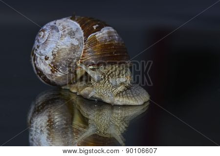 Big snail, Helix Pomatia
