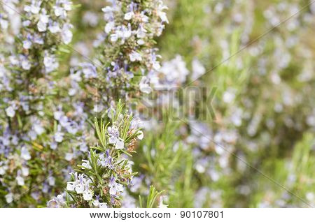 Detail Of A Rosemary Bush In Bloom