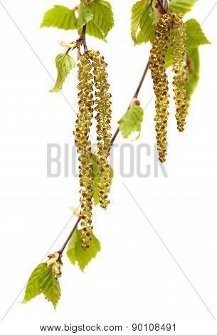 Bud of birch on White background. green  leaves isolated