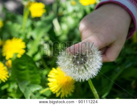 Dandelions and child's hand on grass background