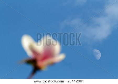 Pink Magnolia Blossom  Over Evening Sky And Moon
