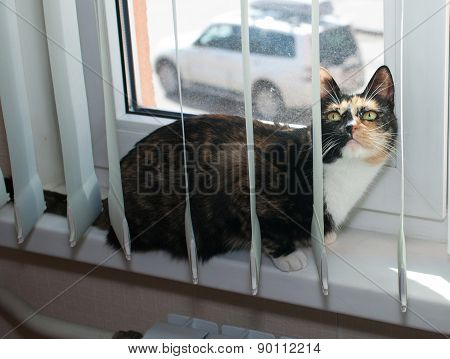 Tricolor Cat Sits On Windowsill