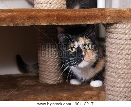 Tricolor Cat Sitting On Scratching Post