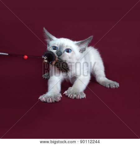 Thai White Kitten Playing On Burgundy