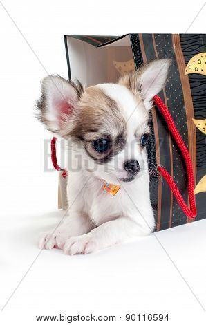 cute chihuahua puppy with gift bag