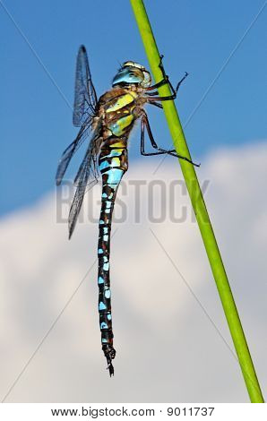 Migrant Hawker Dragonfly Side View