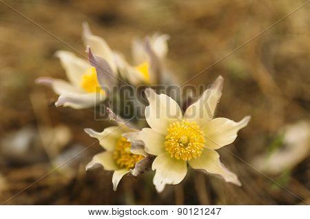flower Pulsatilla