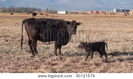 Female Cow Births One Hour Old Calf Ranch Field