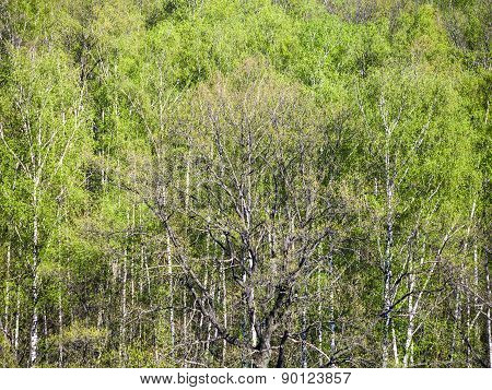 Above View Of Green Oak Tree In Forest In Spring