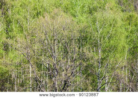 Above View Of Oak Tree In Birch Woods In Spring