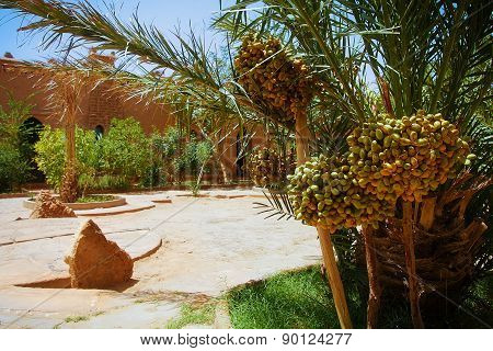 A Beautiful Moroccan Garden With Date Palm Trees With Riping Datel Fruit And Glowing Sand Surface