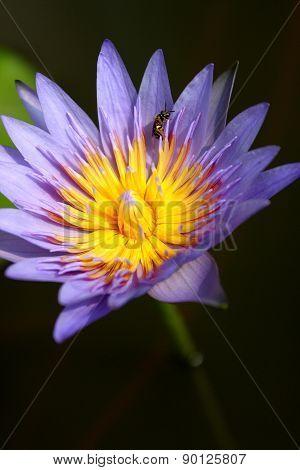 Blue Lotus