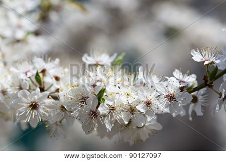 The cherry blossoms in early May