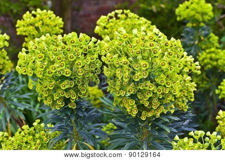 Evergreen perennial Euphorbia plant.