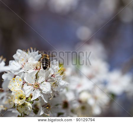 The bee collects nectar from flowering trees.