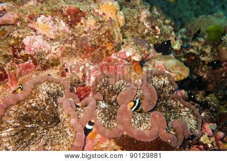 Fishes in a sea anemone