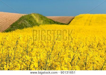 Field With Oilseed Rape