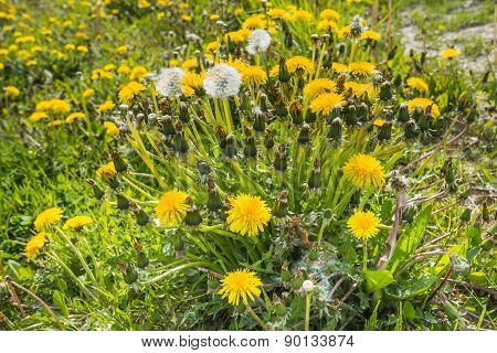 Yellow Flowering Common Dandelion Plants As Seen Obliquely From Above