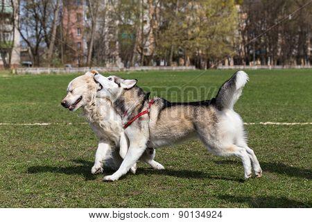 Siberian Husky and Golden Retriever.