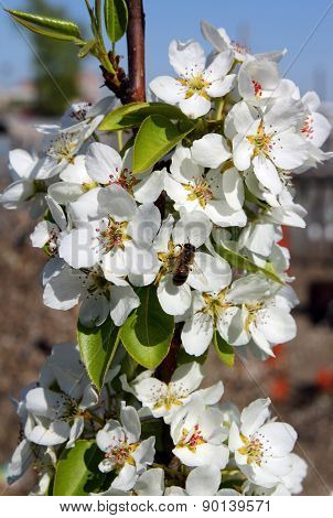 Bee on pear inflorescences