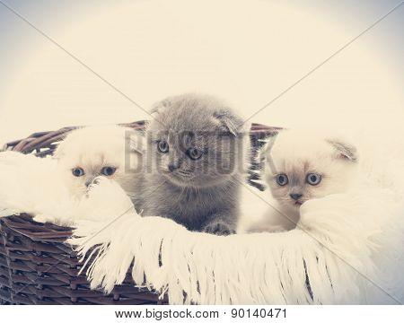 Three British Lop-eared Kittens