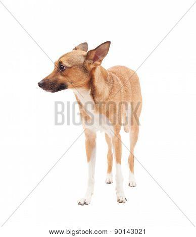 Small Elegant Dog