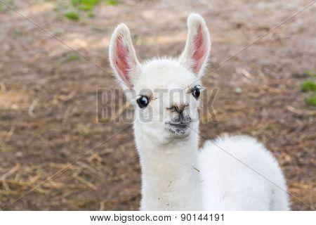 Llama (lama Glama) Baby